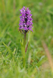 Northern Marsh Orchid Stock Photography