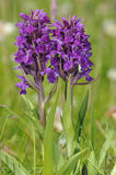 Northern Marsh Orchid Royalty Free Stock Photography