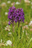 Northern Marsh Orchid Stock Photos