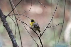 Northern masked weaver bird Ploceus taeniopterus. A northern masked weaver bird Ploceus taeniopterus in a tree Royalty Free Stock Photos