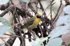 Northern masked weaver bird Ploceus taeniopterus. A northern masked weaver bird Ploceus taeniopterus in a tree Stock Photos