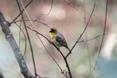 Northern masked weaver bird Ploceus taeniopterus. A northern masked weaver bird Ploceus taeniopterus in a tree Stock Photo