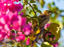 Northern Masked Weaver with flower Royalty Free Stock Photography
