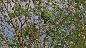 Northern Masked Weaver, ploceus taeniopterus, Female standing on Nest, in flight, Flapping wings, Baringo Lake in Kenya