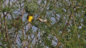 Northern masked weaver, ploceus taeniopterus, male and female standing on nest, in flight, flapping wings, Baringo lake in Kenya