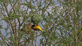 Northern Masked Weaver, ploceus taeniopterus, Male and Female standing on Nest, in flight, Flapping wings, Baringo Lake in Kenya,
