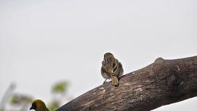 Northern Masked Weaver, ploceus taeniopterus, Males fighting, in flight, Flapping wings, Baringo Lake in Kenya,