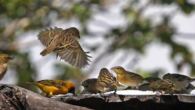 Northern masked weavers, ploceus taeniopterus, group at the feeder, in flight, lake Baringo in Kenya. Slow Motion stock video footage