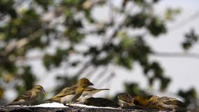 Northern Masked Weavers, Ploceus taeniopterus, group at the Feeder, in flight, Lake Baringo in Kenya. Slow Motion stock video