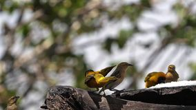 Northern Masked Weavers, Ploceus taeniopterus, group at the Feeder, in flight, Lake Baringo in Kenya,. Slow Motion stock footage