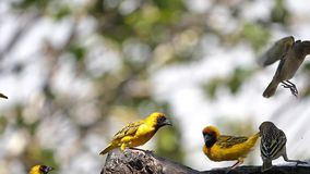 Northern Masked Weavers, Ploceus taeniopterus, group at the Feeder, in flight, Lake Baringo in Kenya,. Slow Motion stock video footage