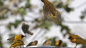 Northern Masked Weavers, Ploceus taeniopterus, group at the Feeder, in flight, Lake Baringo in Kenya,. Slow Motion stock video