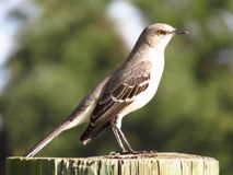 Northern Mocking Bird Resting on the Log. Northern Mocking Bird is resting on the log.  This picture was captured at Central Florida area in December Stock Photos