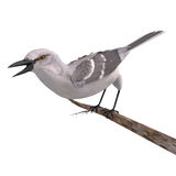Northern Mockingbird. 3D rendering with clipping path and shadow over white Stock Photo