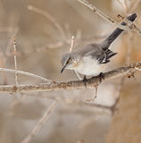 Northern Mockingbird. Mimus polyglottos, perched on a tree branch Royalty Free Stock Photos