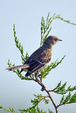 Northern Mockingbird. Sitting high up in a tree Stock Photography
