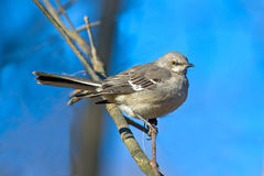 Northern Mockingbird. Sitting in a tree Stock Image