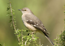 Northern Mockingbird. Photograph of a beautiful northern mockingbird perched in a bush in a south texas garden Royalty Free Stock Images