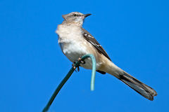 Northern Mockingbird. Sitting high up on a wire Stock Photography