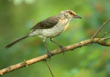 Northern Mockingbird. A mockingbird catching a little bit of sun Stock Images