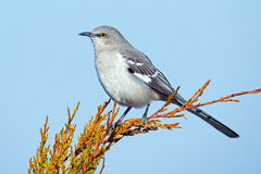 Northern Mockingbird. Sitting in a tree Royalty Free Stock Photos