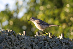 Northern Mockingbird. On a ivy covered fence at sunrise stock photo