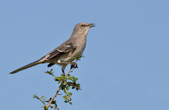 Northern Mockingbird. A Northern Mockingbird singing from a high perch royalty free stock photos