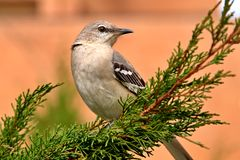 Northern Mockingbird Stock Photo