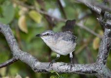 Northern Mockingbird Stock Image