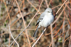 Northern Mockingbird 2 Royalty Free Stock Image