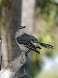 Northern Mockingbird - Anyone Behind ME? Stock Image