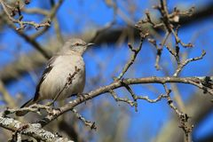 Northern Mockingbird. This bird, a Northern Mockingbird, perches on a branch in the woods of New Hampshire Royalty Free Stock Photography