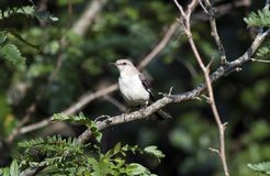 Northern Mockingbird Bird, Walton County GA Stock Image