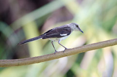 Northern Mockingbird on branch Stock Images