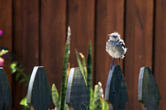 Northern Mockingbird chick on fence. A very young Northern Mockingbird chick is perched on a wooden picket fence. Too young to fly and has downy feathers in Stock Image