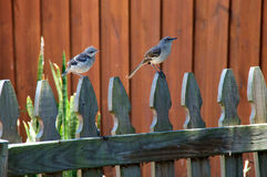 Northern Mockingbird and chick. A Northern Mockingbird perched on a picket fence with it`s baby, both are looking to the right Stock Photos