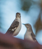 Northern Mockingbird close-up Royalty Free Stock Images