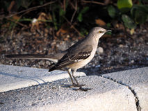 Northern Mockingbird on Curb Stock Image