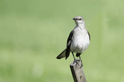 Northern Mockingbird on fence Stock Image