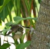 Northern Mockingbird fledgling and parent bird Stock Photos