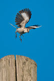 Northern Mockingbird. Flying off of a hydro pole Royalty Free Stock Images