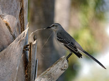 Northern Mockingbird Gathering Materials For Nest Stock Photos