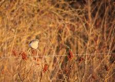 Northern Mockingbird Stock Photography