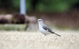 Northern Mockingbird hunting for bugs on Georgia lawn. Northern Mockingbird, Mimus polyglottos, a common songbird thrush of the southeastern United States Stock Images