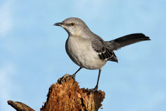 Northern Mockingbird (Mimus polyglottos) Royalty Free Stock Photo