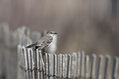 Northern Mockingbird (Mimus polyglottos) Stock Photography