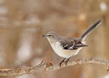 Northern Mockingbird, Mimus polyglottos Stock Image