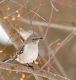 Northern Mockingbird, Mimus polyglottos Stock Photo
