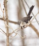 Northern Mockingbird, Mimus polyglottos Royalty Free Stock Photo