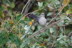 Northern Mockingbird, Mimus polyglottos Royalty Free Stock Images